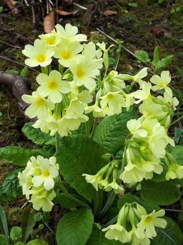 Primular elatior, Blütenfarbe blassgelb mit verwachsenen Kelchblättern