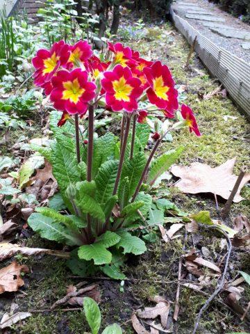 Zierprimel, die vor drei Jahren im Garten 'ausgesetzt' wurde, nun 'verwildert' ist und wieder hohe Blütenstängel austreibt.